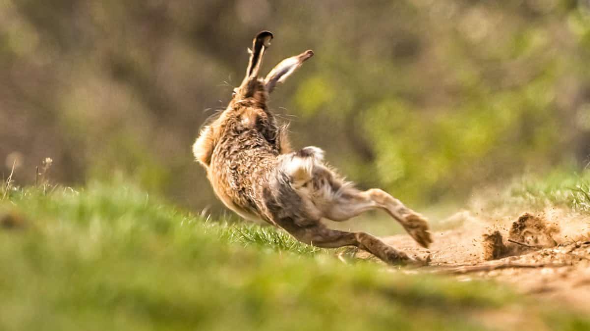Una liebre sale victoriosa ante varios perros de caza con un salto al estilo Jackie Chan