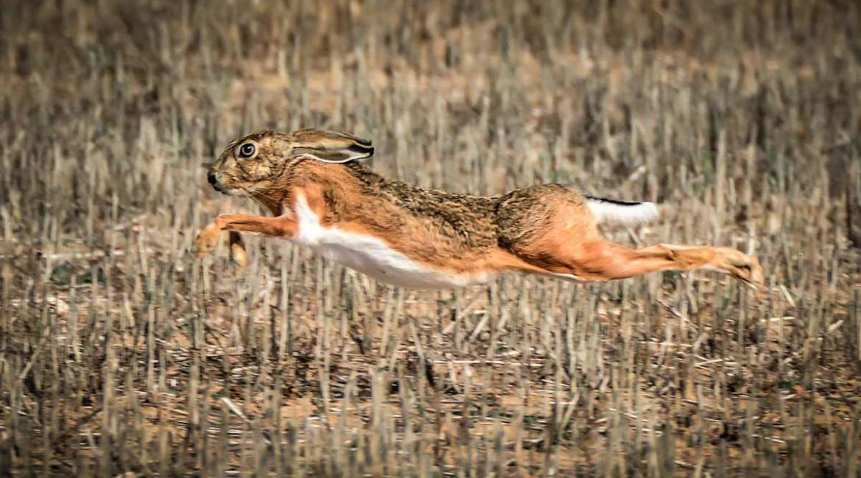 Un científico llama a la calma sobre la enfermedad hemorrágica vírica del conejo que ya afecta a la liebre