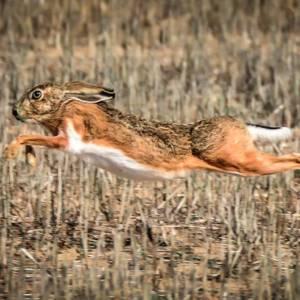 Liebre ibérica (Lepus Granatensis), así es la especie que muchos confunden con un conejo