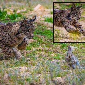 Fotografía el momento exacto en el que un lince caza a un conejo en Toledo