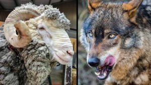 Una cámara graba el ataque de dos lobos a un carnero en Galicia