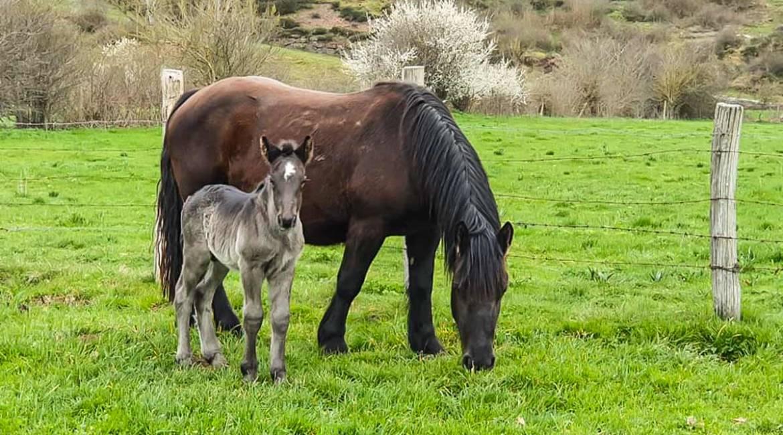 Un lobo se come a un potro recién nacido junto a un pueblo en Cantabria