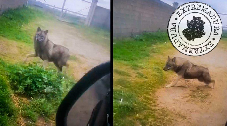 No, el lobo ibérico no ha regresado a Extremadura
