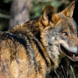 La Reserva de la Culebra subastará la caza de 12 lobos por Internet