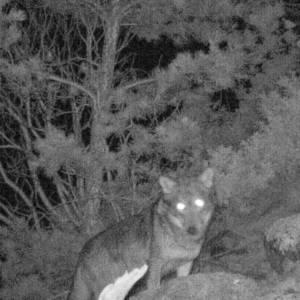 Descubren que el lobo ha vuelto a Aigüestortes (Lleida) después de 100 años