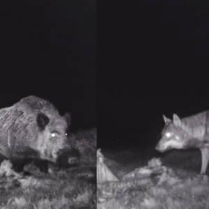 Un descomunal jabalí se apodera de la carroña de una manada de lobos en Galicia