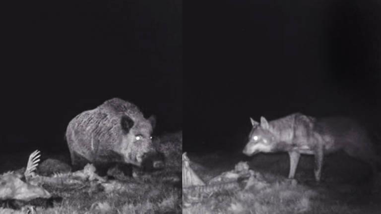 lobo y jabalí