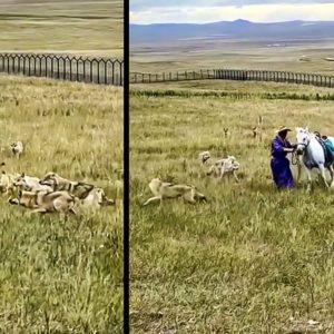 Una manada de 12 lobos rodea a un hombre y su caballo