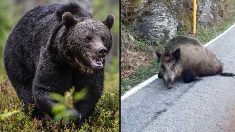 Un oso en imagen de archivo y el jabalí. ©Shutterstock