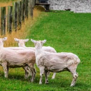 Un pastor mata a un perro que atacó a sus ovejas y ahora se enfrenta a pena de prisión