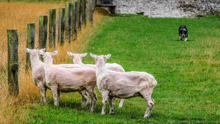 Un perro se aproxima a tres ovejas recién esquiladas. ©Shutterstock