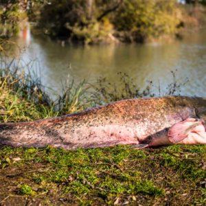 Preocupación tras la pesca de un siluro de 100 kilos y más de 2 metros en Sevilla