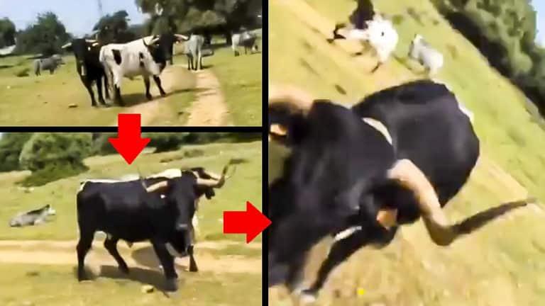 vaca ataque corredor