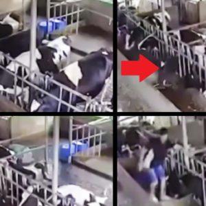 Un rayo cae en una granja mientras todas las vacas están en contacto con un comedero metálico
