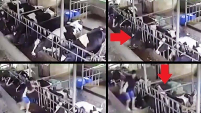 El rayo mata a las vacas.