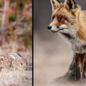 Los zorros también depredan sobre las crías de jabalí