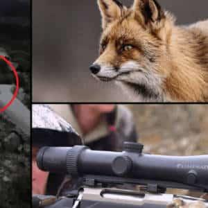 Un zorro intenta robar el visor del arma de un cazador durante una batida de jabalí en Ávila