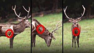 ¿Cuáles son las zonas vitales de un ciervo?