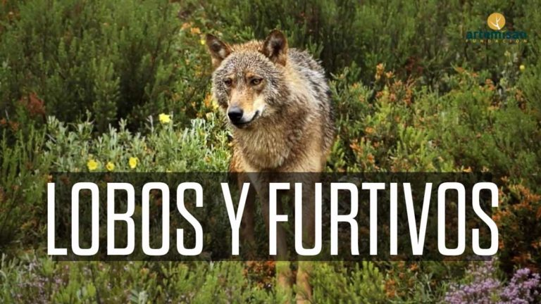 lobos y furtivos