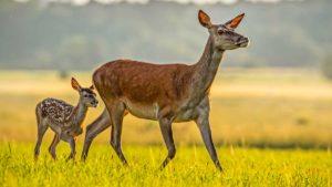 La matanza de ciervos y jabalíes que sustituyó a la caza en Monfragüe llega a la Fiscalía General
