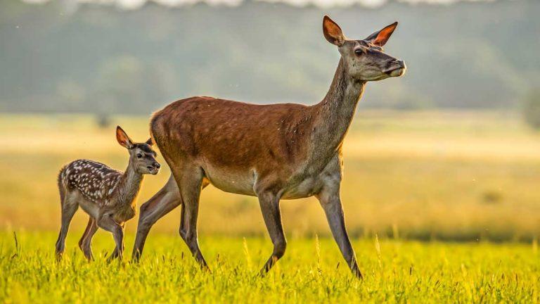 Cierva con su cría. ©Shutterstock