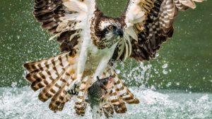 Así se ve a cámara lenta cómo un águila pescadora da caza a una presa