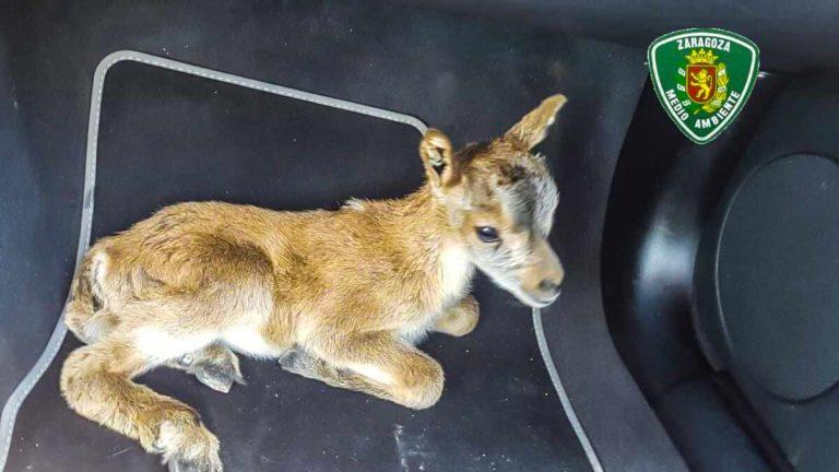 La cría de cabra montés quitada a su madre. © Agentes Forestales de Zaragoza