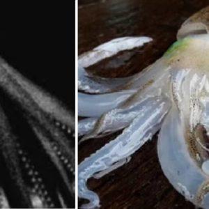 Graban por primera vez cómo un calamar gigante caza en el fondo del mar