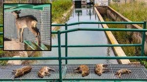 Los cazadores de Valencia denuncian el ahogamiento de crías de jabalí y corzo en el canal de Lliria