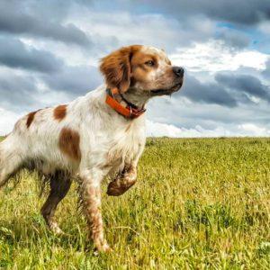 11 pautas para adiestrar a tu perro de caza correctamente