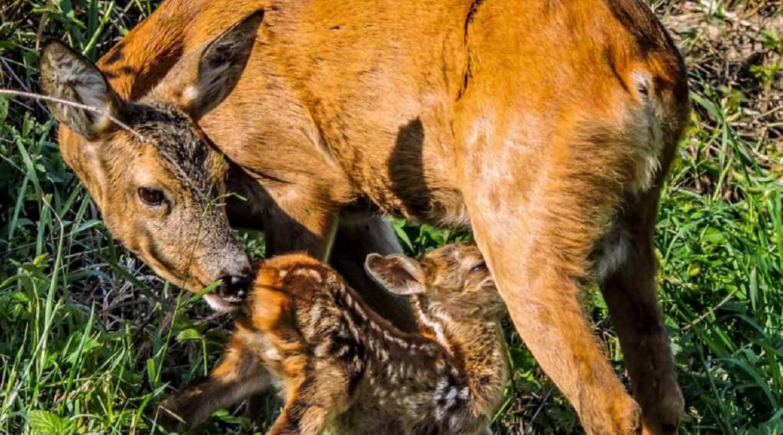 Un cazador graba un momento mágico: un corzo recién nacido alimentándose de su madre