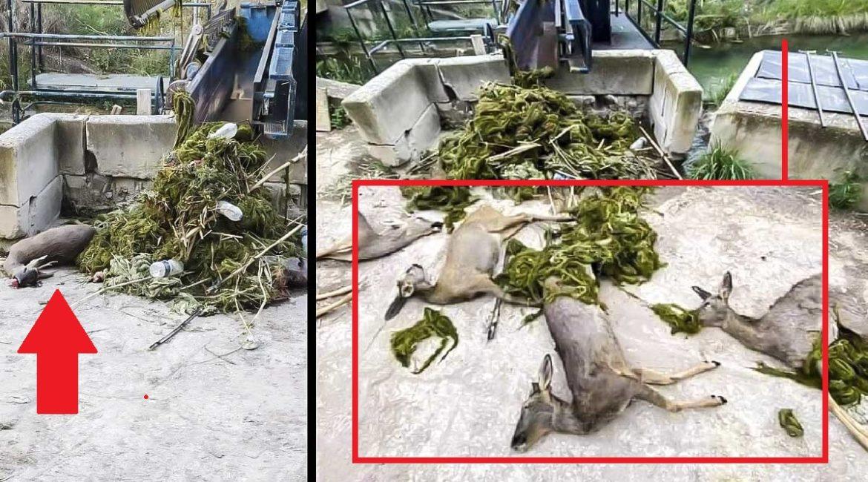 Un cazador descubre 9 corzos muertos: así es la trampa mortal que está esquilmando muchos cotos