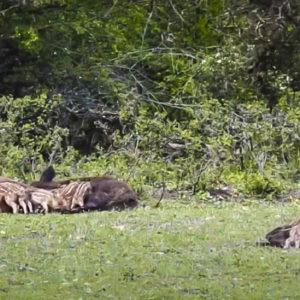 Hora de merendar: tres hembras de jabalí dan de mamar a 30 rayones
