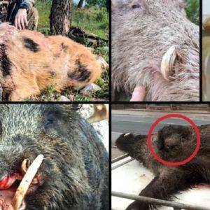 Estos son los 12 jabalíes más extraños cazados en España en los últimos años