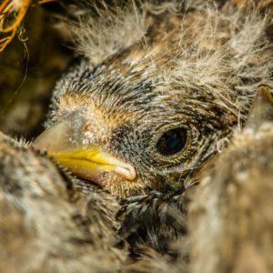 Un cazador graba decenas jilgueros muertos en una poda: «Se prohíbe el silvestrismo y se permite esto»