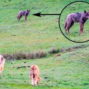 Un ganadero fotografía a un lobo ibérico acechando a sus vacas en León