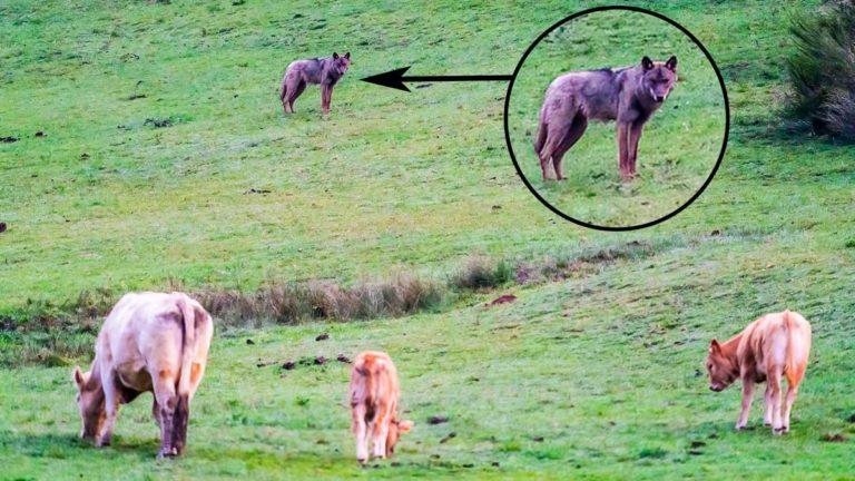 El lobo acechando a las vacas en esta explotación, situada en las cercanías de Liegos. © C. F.