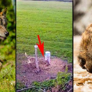 Estos lobos demuestran su inteligencia usando un comedero de jabalí hecho por humanos para cazar