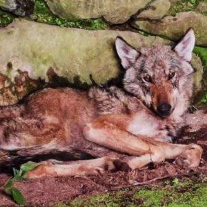 Un lobo entra dentro de una casa en un pueblo de Galicia