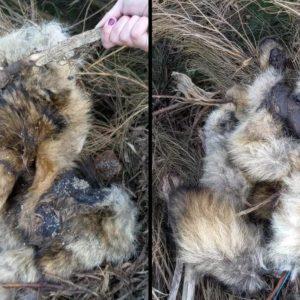 Aparece otro lobo muerto en un pueblo de León