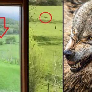 Graban a dos lobos desde el sofá de su casa