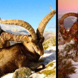 Una conocida cazadora americana caza un tremendo macho montés en Gredos
