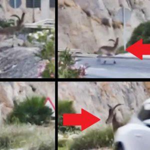 Un macho montés cruza una carretera y a punto está de provocar un accidente