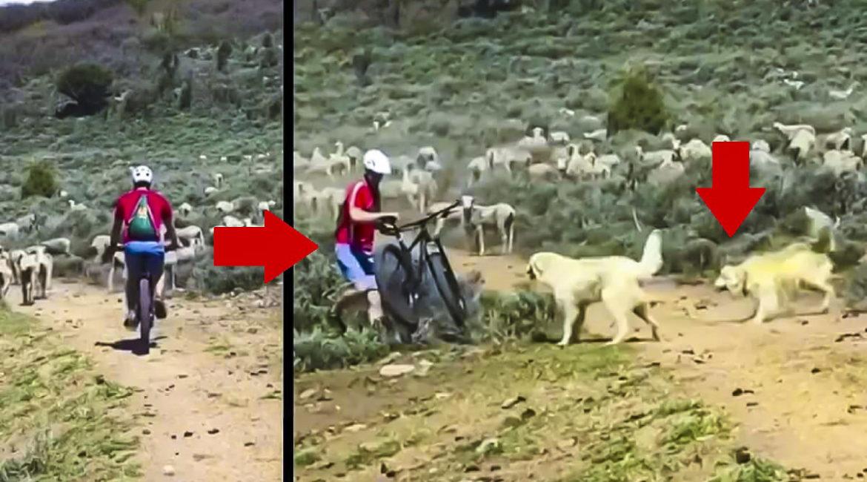 Un ciclista intenta cruzar por la mitad de un rebaño y esta es la reacción de los mastines