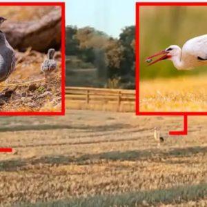 Una perdiz se enfrenta a una cigüeña que intenta comerse a sus pollos