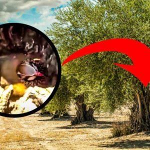 Una perdiz roja (Alectoris rufa) hace su nido sobre un olivo