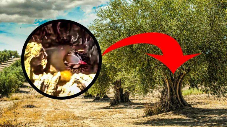 La perdiz en el olivo con su nido. © YouTube