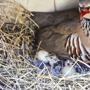 Este es el preciso instante en el que los pollitos de perdiz salen del cascarón junto a su madre