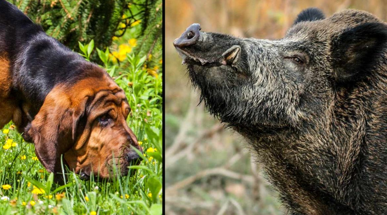 Un perro de caza sigue el rastro de unos jabalíes sin darse cuenta de que lo estaban esperando