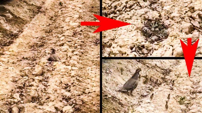 Varias escenas del vídeo de la perdiz con sus pollos. ©YouTube